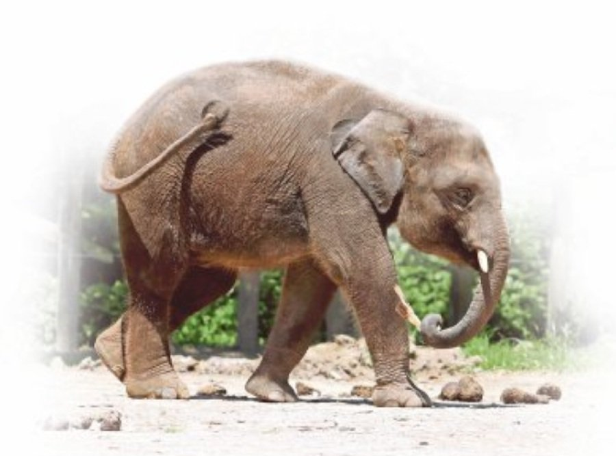 An elephant at the Lok Kawi Wildlife Park in Penampang, Sabah. Breeding elephants in captivity is not necessary as there are enough of the species in the wild.