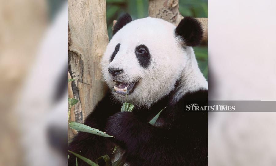Yi Yi, the giant panda was supposed to be sent back to China in April. - NSTP/File pic